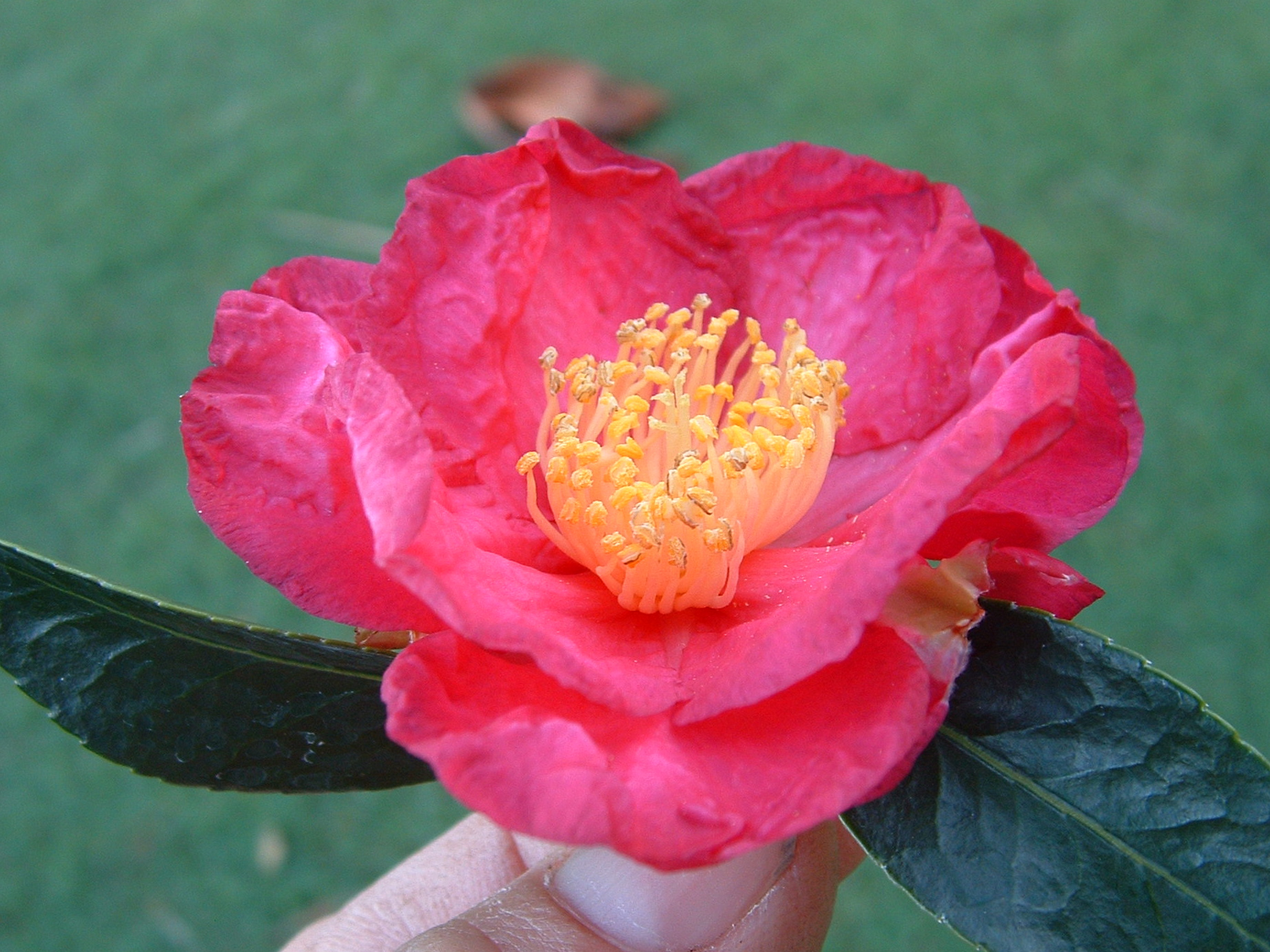 Camellia listing camellia glen nursery crimson tide large deep crimson red semi double with ruffled petals dense bush early mightylinksfo