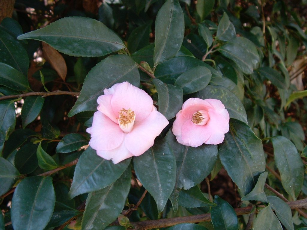 Camellia Care & Culture Notes – Camellia Glen Nursery